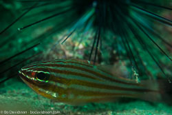 BD-161103-Alor-4600-Ostorhinchus-holotaenia-(Regan.-1905)-[Copperstriped-cardinalfish].jpg